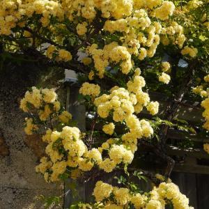 ●可憐な黄色い木香薔薇●お散歩Photo