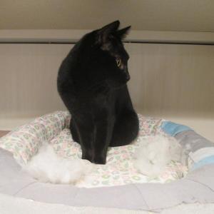 【猫】猫が猫ベットを食べる問題