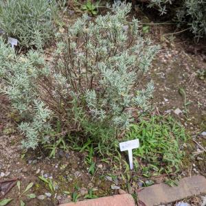 雑草とりとこぼれ種