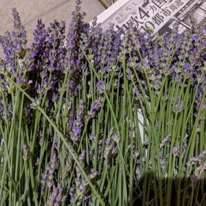 ラベンダーのポプリを作るなら花が咲く前がいい?