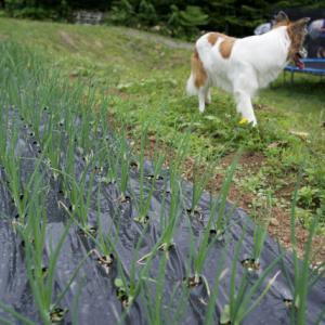 タマネギ順調。植える時は1番弱そうだったレタス。初めての枝豆。