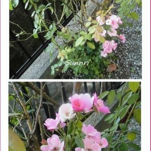 秋の花が咲いています 蔓バラ