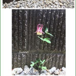西洋オダマキの花