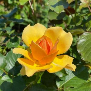 薔薇に囲まれる!紅茶で特別な時間に〜