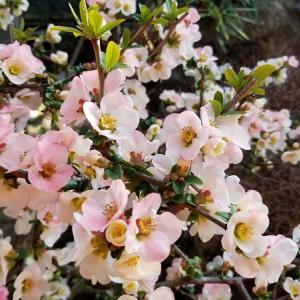 庭のボケが咲きました。