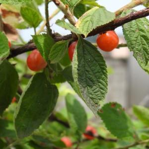 「ゆすら梅」の果実酒つくり4年目