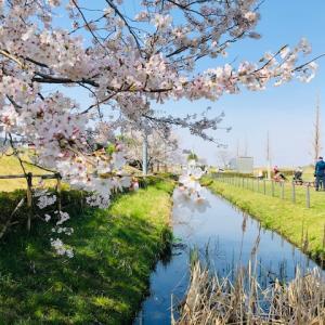 柏の隠れた桜の名所をご紹介いたします。それは道の駅しょうなんの裏手の手賀沼寄りの土手!
