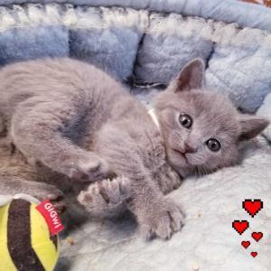 シャルトリューの子猫、新しいオーナー様募集中。