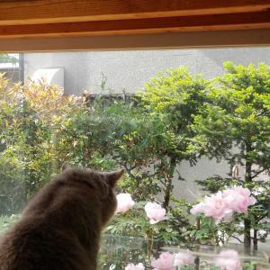 牡丹の花とシャルトリュー