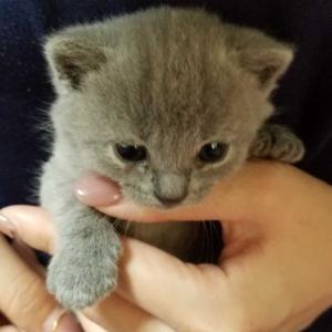 シャルトリューの子猫生まれました。