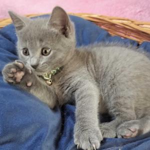 シャルトリューの子猫優しい家族募集中です。