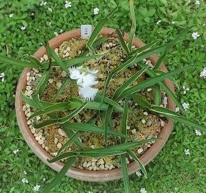 さぎ草 今年も咲きました