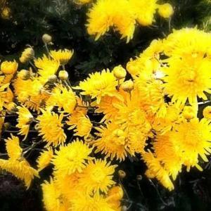 重陽の節句 菊の美味しい食べ方は?