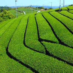 福岡県八女茶(やめちゃ)の特徴