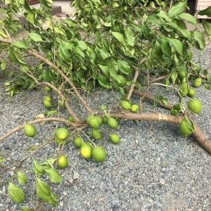 レモンの木と台風