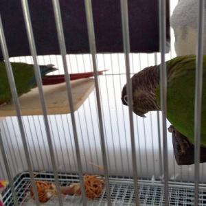 ゴロ寝放鳥と巣引き準備
