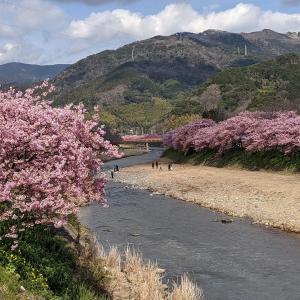 河津町の河津桜まつり