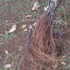 プロの苗木屋さんが育てたブドウの苗木から接ぎ木方法を分析してみた