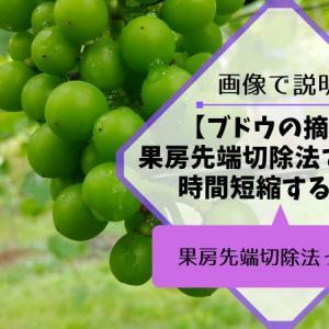 ブドウの果房先端切除法で摘粒時間を短縮する方法
