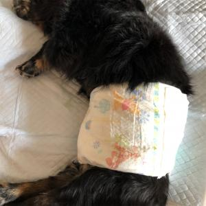 老犬の介護日記【老犬のオムツ】について