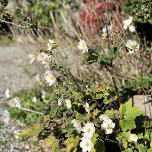 別宅の植物が秋バージョンだった。 #秋明菊 #南天