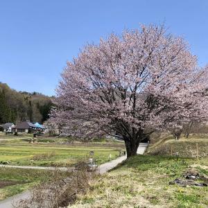 野平の一本桜 #しあわせ信州 #白馬村 #三脚禁止