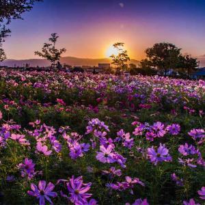 馬見丘陵公園カリヨンの丘 日の出とコスモス