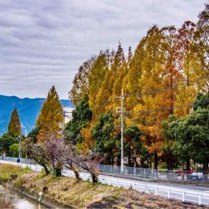 奈良文化高等学校 メタセコイヤ