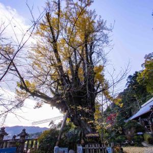 奈良県御所市 葛城一言主神社の乳イチョウ その2
