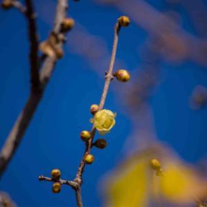 蝋梅が咲き始めました。近鉄特急アーバンライナーもパチリ❗️