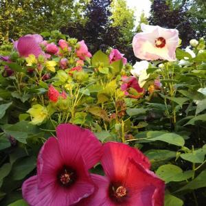 夏の花 アメリカフヨウ