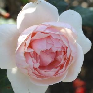 付録がよかった雑誌2点 今日の薔薇 イングリッシュローズ