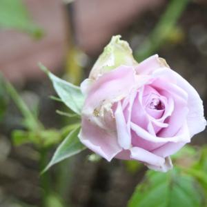 50代 UNIQLO購入品 蕾が美しい薔薇