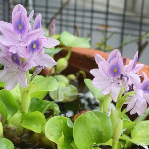 50代 UNIQLO GUにプラスした雨の日コーデ ホテイアオイまたまた咲く