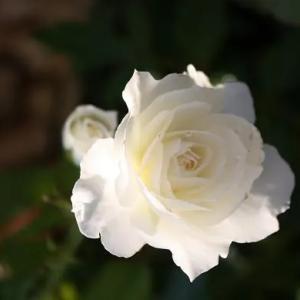 50代 忙しい朝に便利なコーデ 清楚な薔薇しずく お洒落講座21