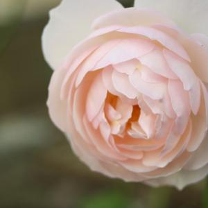 50代 20年以上ずっと好きなもの 咲いている薔薇