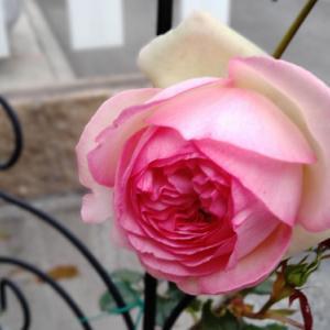 今日のコーデ 開花薔薇第一号は・・・