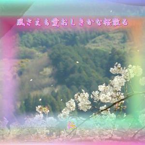 『 風さえも愛おしきかな桜散る 』遊行俳句で交心yzv0504