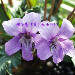 フォト575あそび『 魂を癒す菫に出会いたし 』xzr1901