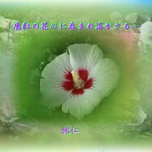 『 底紅の花心に呑まれ溶かさるゝ 』瘋癲老仁妄句yvp1201