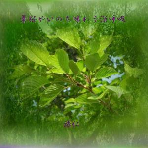 平和の砦575交心『 葉桜やいのち味わう深呼吸 』yvt0901