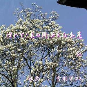 『 汚れなき束の間畏る白木蓮 』良寛さんとあそぶzqv0201