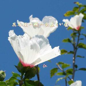 フォト575あそび『 花木槿一瞬一生在るが儘 』vys2701