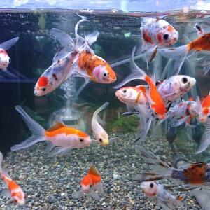 金魚を増やしたい病