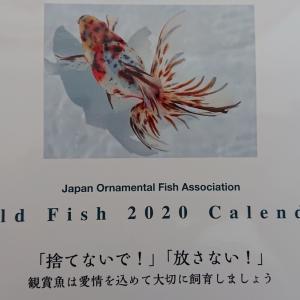 ようやく 金魚カレンダー2020