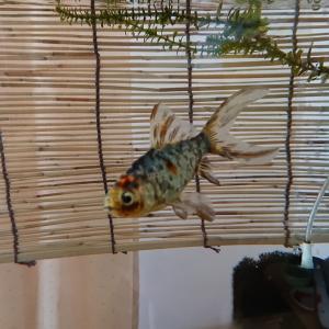 金魚の自然な間食