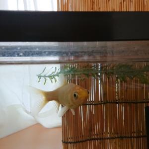 金魚の再同居