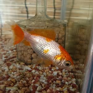 繊細な金魚 初めての同居
