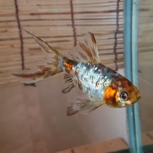 金魚の色んな幸せ