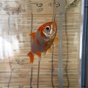 エサを切れない金魚